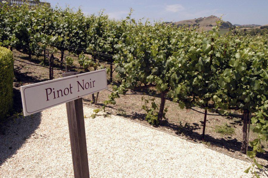 Pinot Noir: a uva de personalidade forte e temperamento peculiar