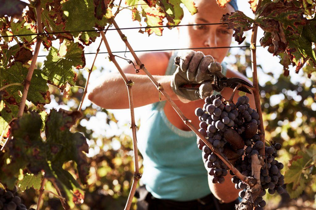 dia internacional da mulher colheita vinho