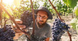 Viticultor colhendo uvas Sangiovese em Chianti