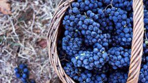cachos da uva Merlot dentro de um cesto de vime