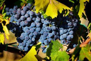 Três cachos de uva Sangiovese pendurados na videira