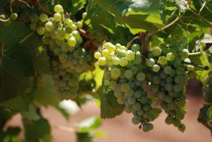 Cachos de uvas da variedade Sauvingon Blanc
